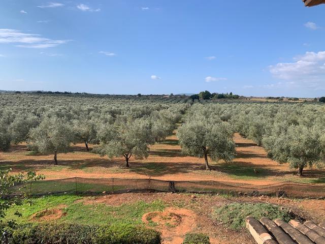 Olive grove for sale Mallorca Picual