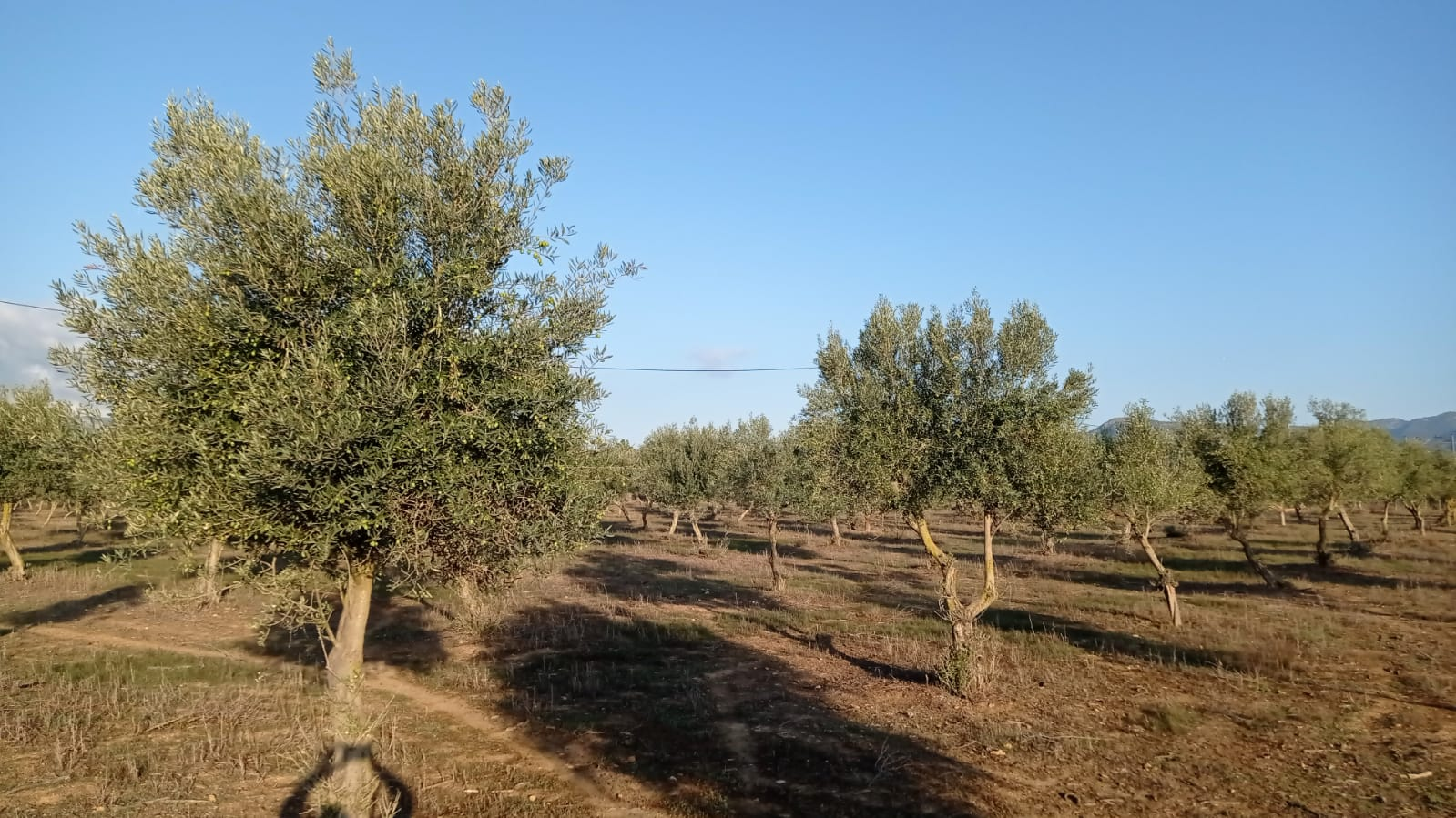 Olive plantation farm for sale Palma